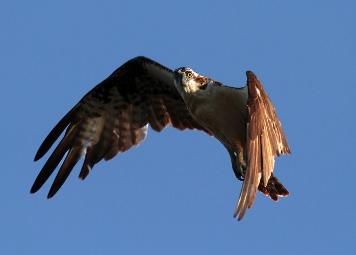 osprey-looking-down-phillanoue-balbuzard