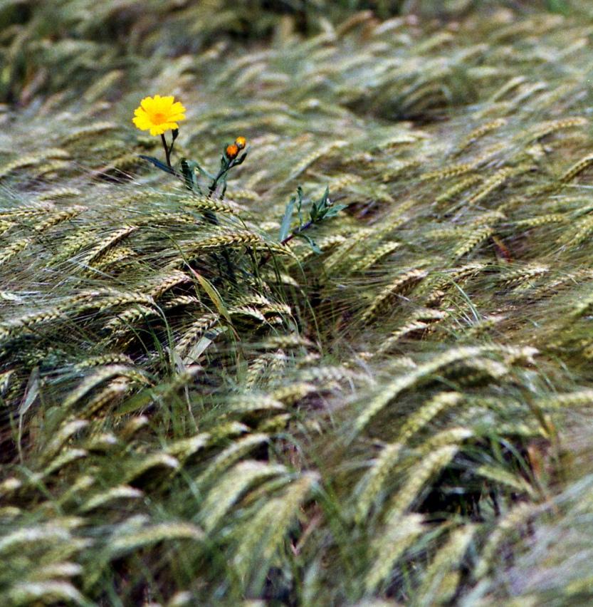 fleur d'or dans les blés